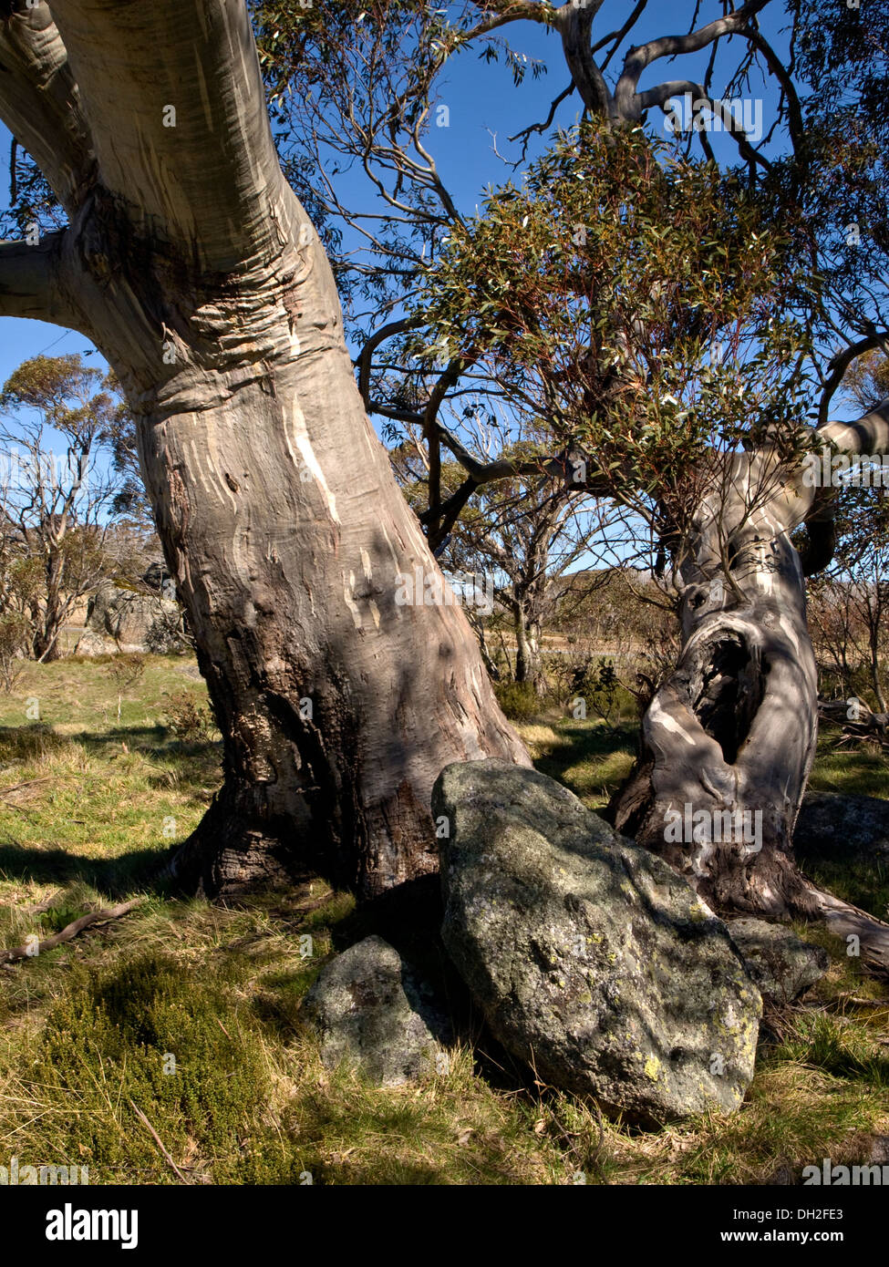 Snow gum (Eucalypt), Snowy Mountains, NSW, Australia - Stock Image