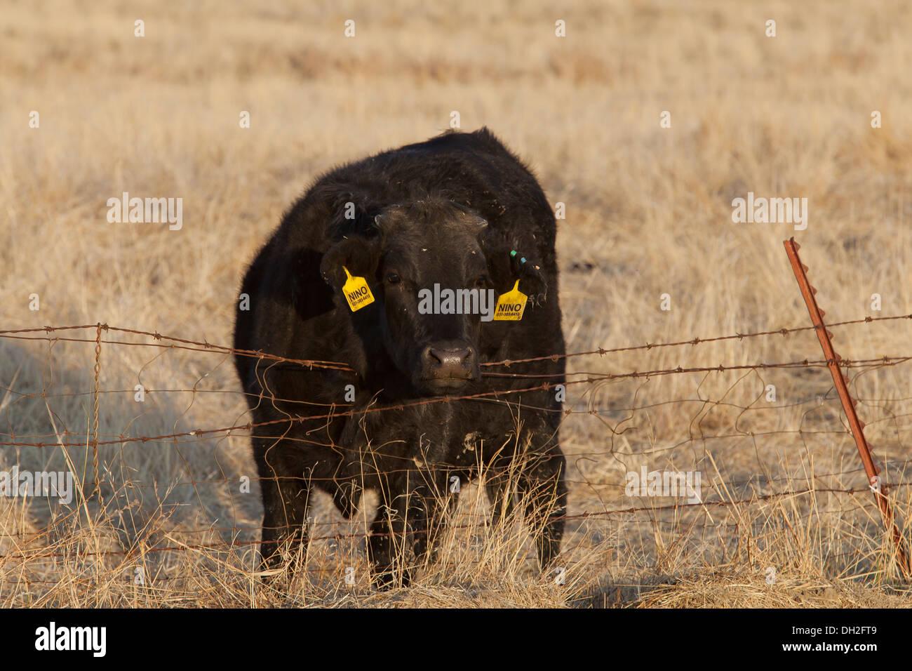 Angus cow in dry grass field - Coalinga, California USA - Stock Image