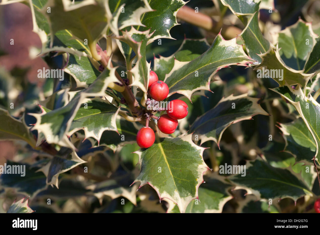 English Holly Ilex Aquifolium Stock Photos & English Holly