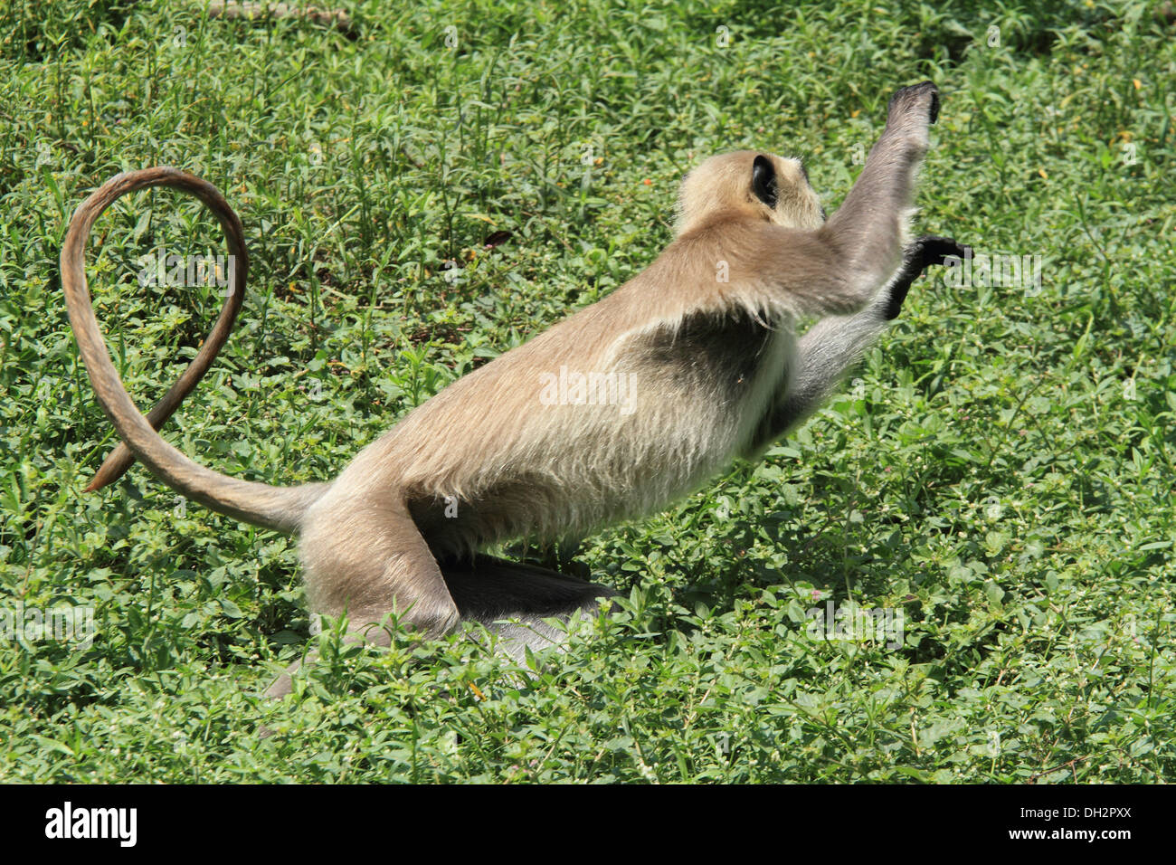 The northern plains gray langur (Semnopithecus entellus) is a species of primate in the Cercopithecidae family - Stock Image