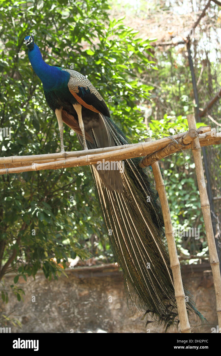 Indian National Bird Blue Peafowl India Asia - Stock Image