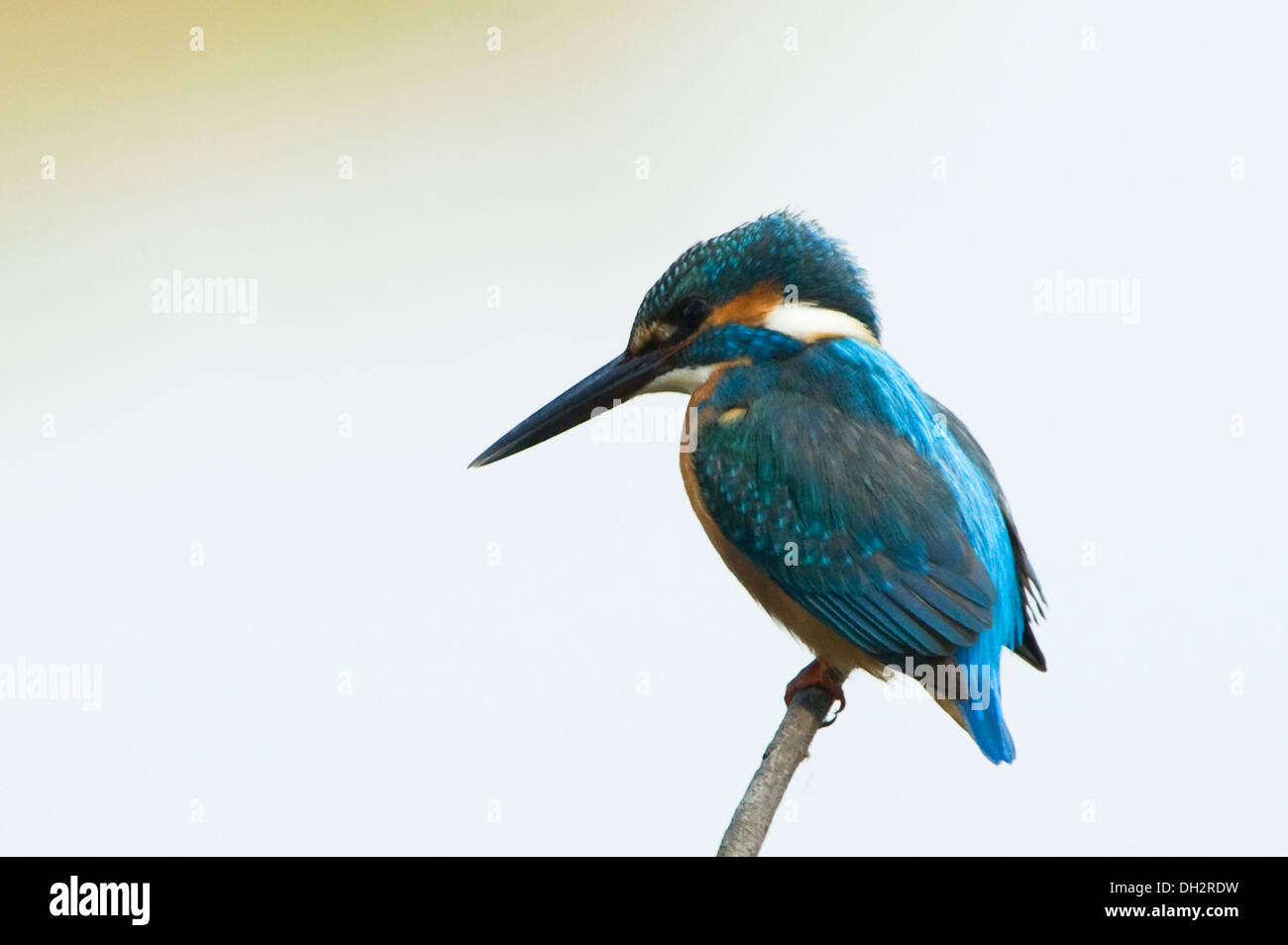 Kingfisher bird Keoladeo Ghana bird sanctuary Bharatpur Rajasthan India Asia - Stock Image