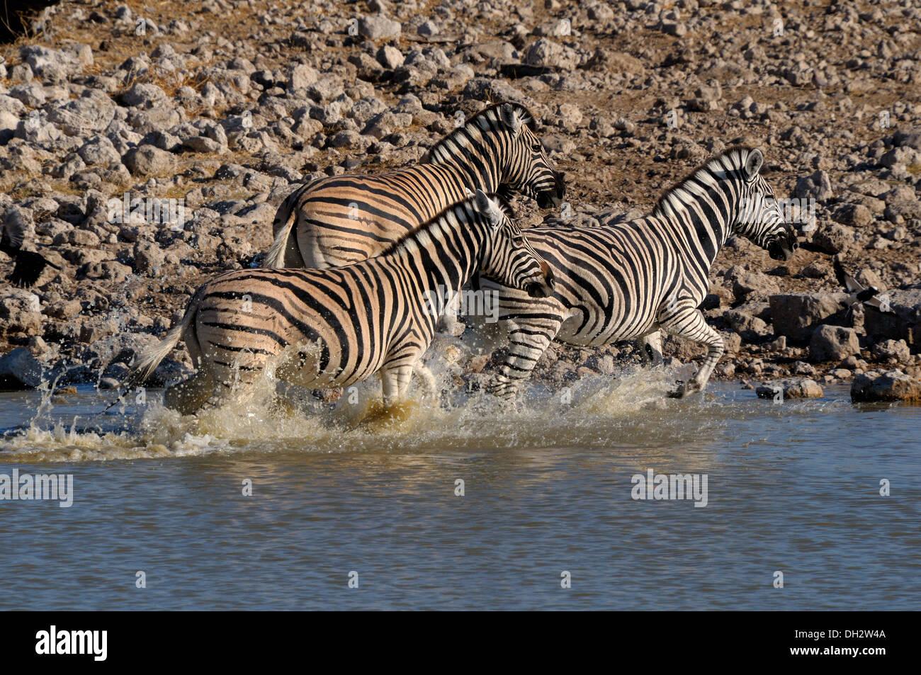 Zebra stampede, Okaukeujo waterhole, Etosha National Park, Namibia - Stock Image