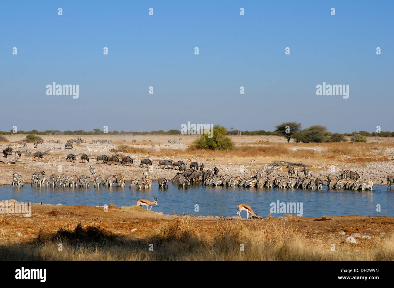 Blue Wildebeest, Zebra and Springbok drinking water at the Okaukeujo waterhole, Etosha National Park, Namibia - Stock Image