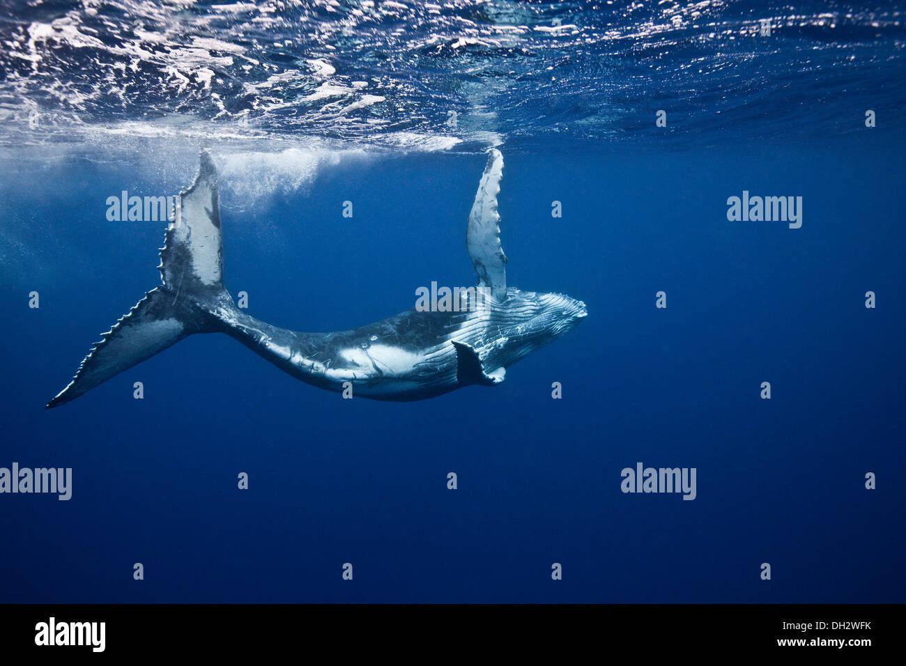 Humpback whales underwater - Stock Image