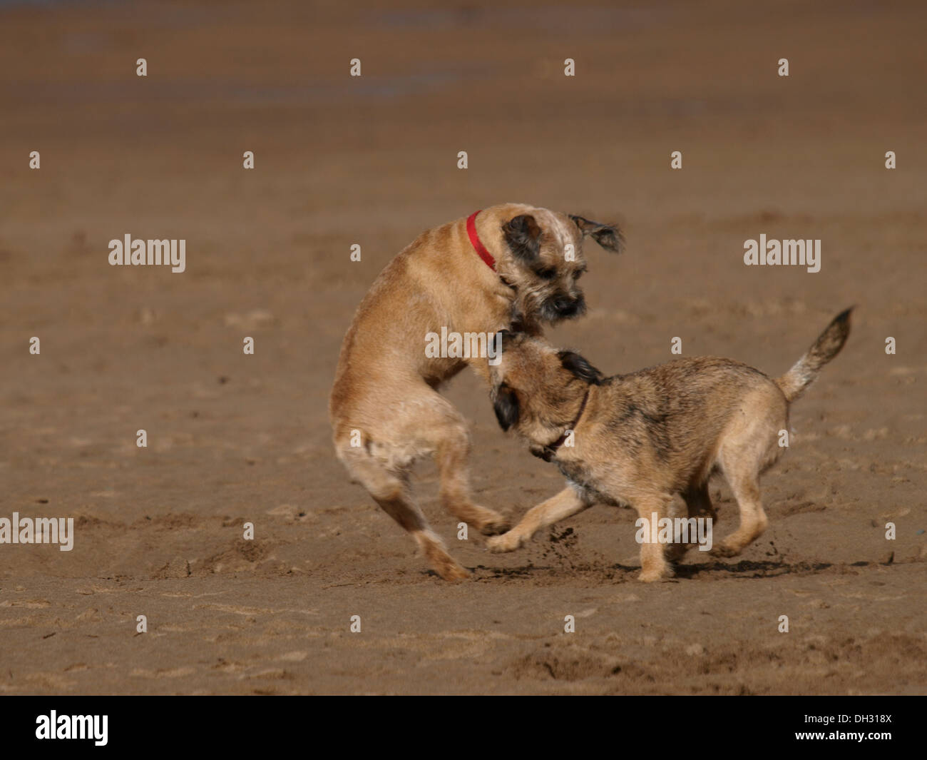 Two Border Terriers playing at the beach, Bude, Cornwall, UK - Stock Image