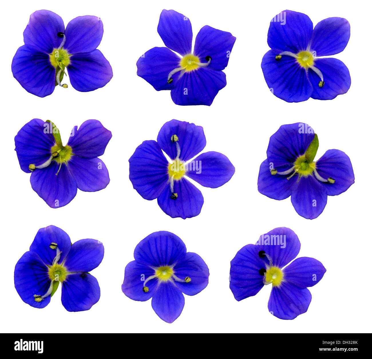 large speedwell flowers - Stock Image