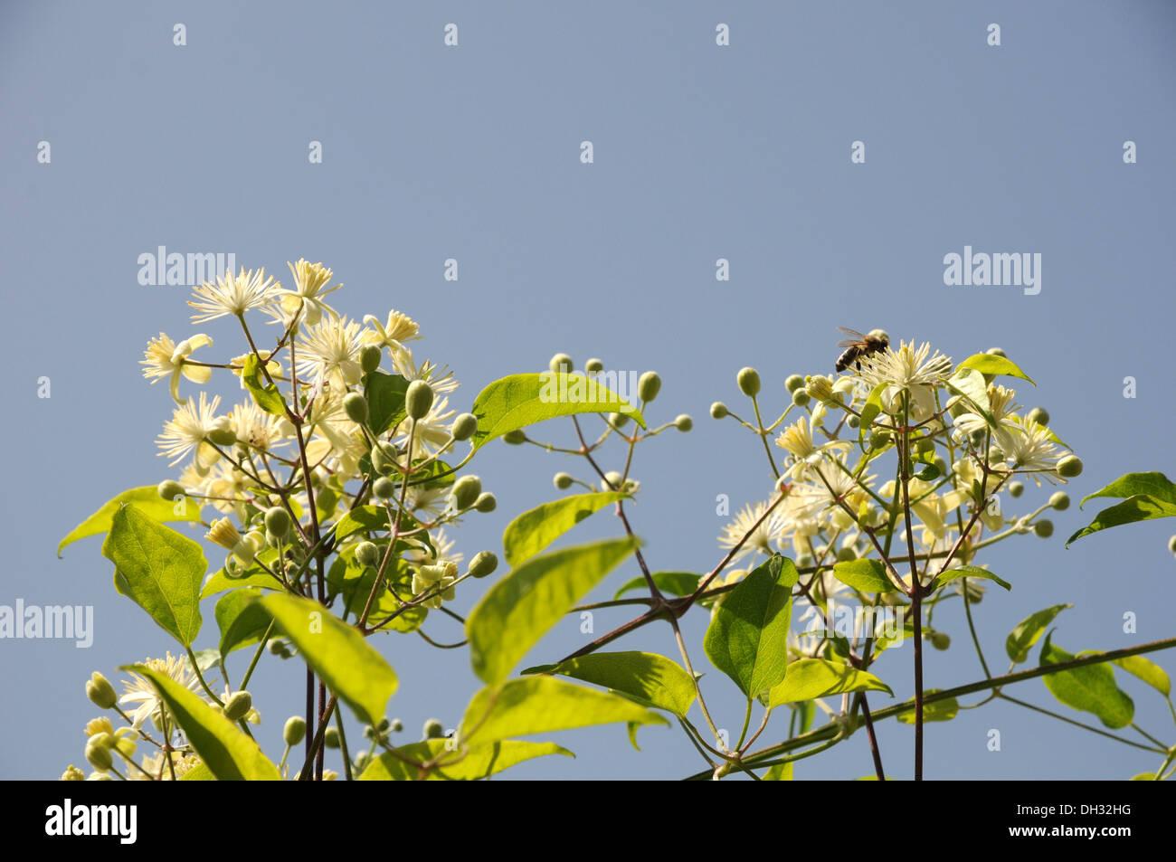 Clematis vitalba - Stock Image