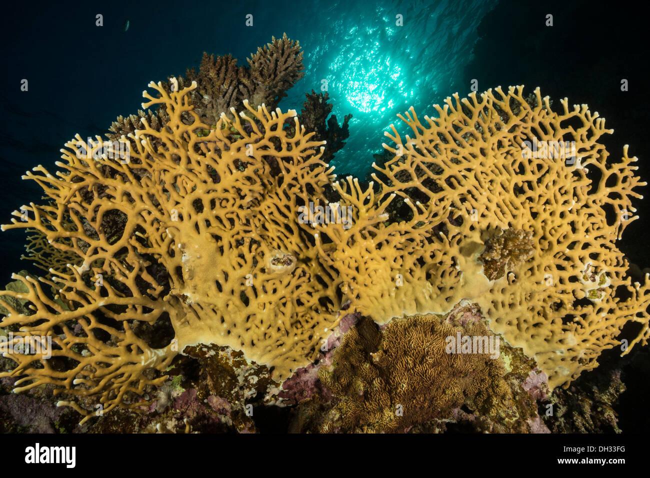 Fire Coral, Millepora dichotoma, Marsa Shagra, Red Sea, Egypt - Stock Image