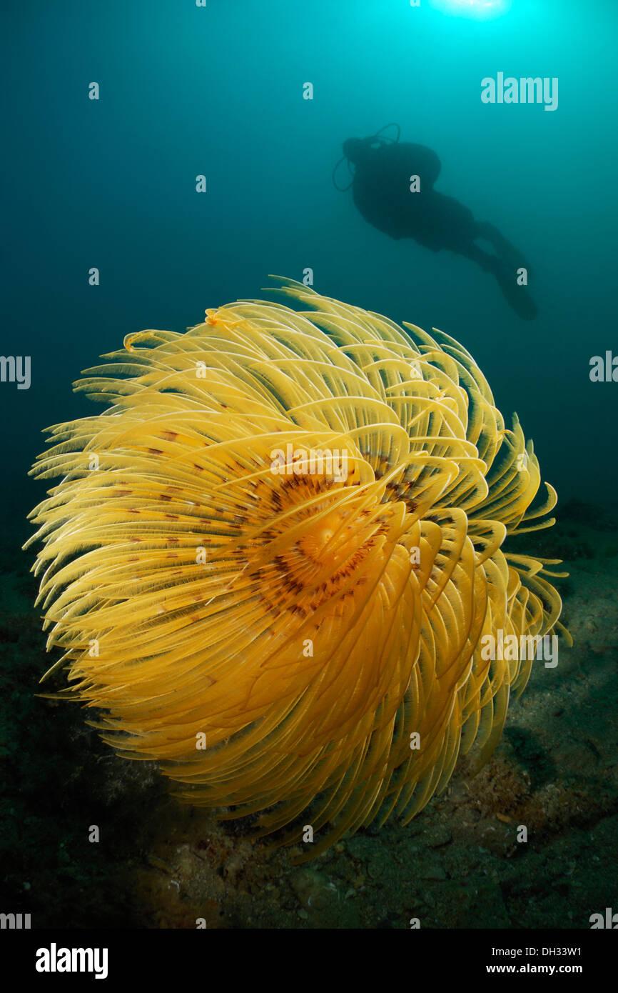 Spiral Tube Worm, Spirographis spallanzani, Piran, Istria, Slovenia Stock Photo