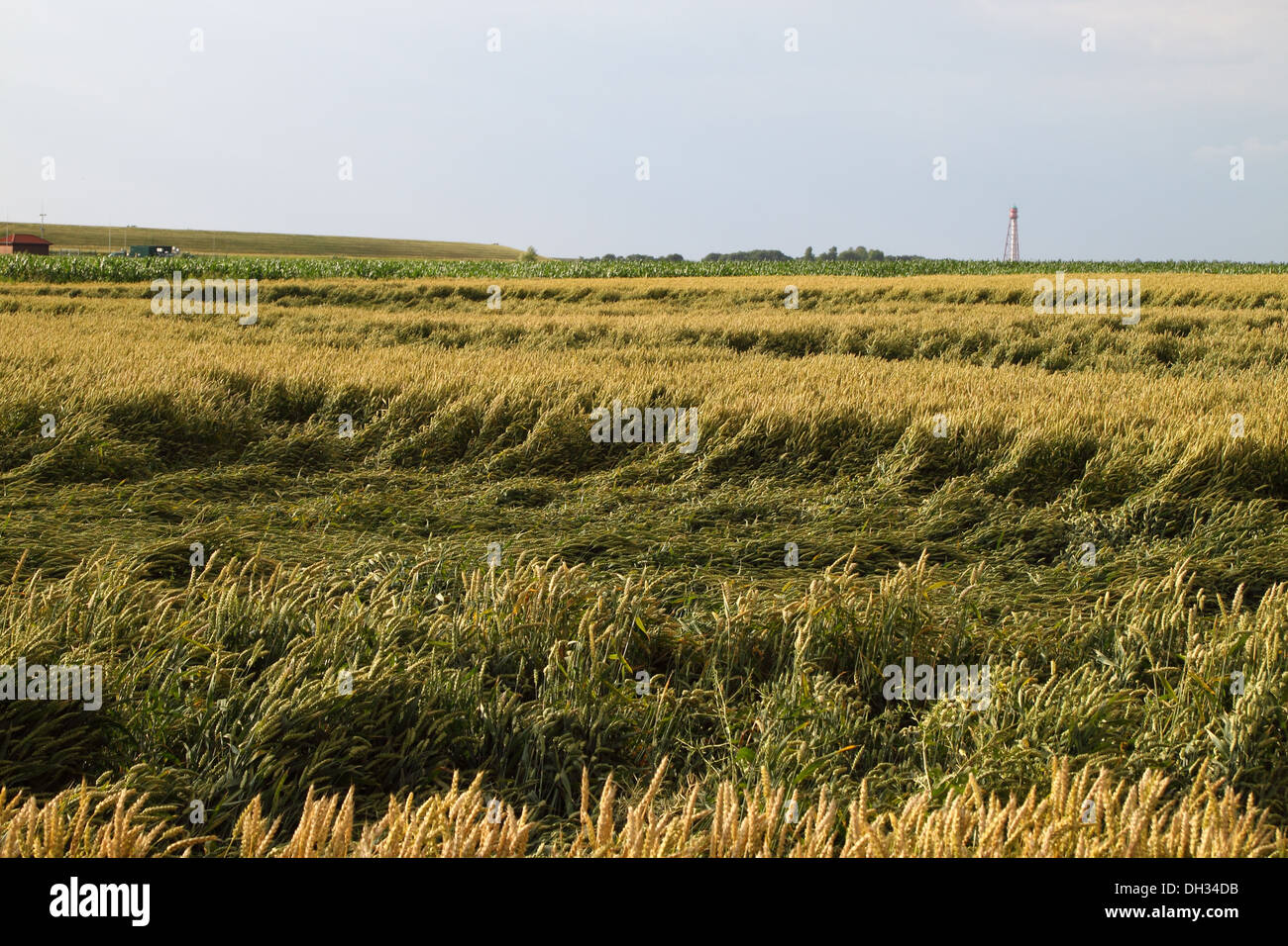 Wheat field after heavy rain - Stock Image