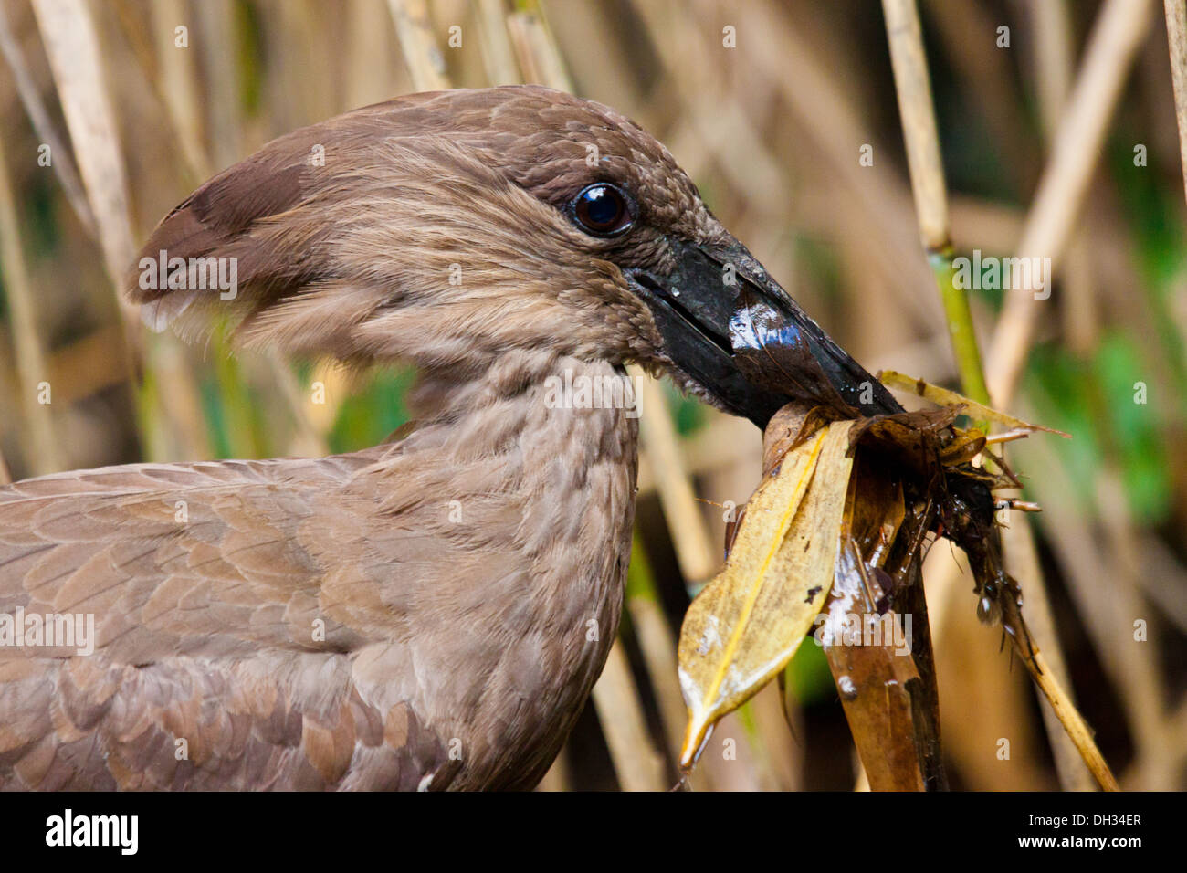 Hamerkop (Scopus umbretta) Stock Photo