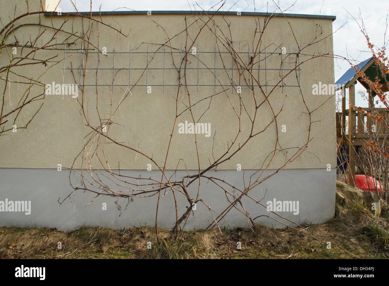 Pruning a grape vine Stock Photo
