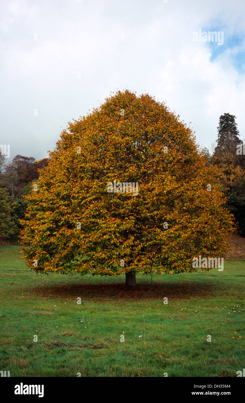 Broad leaved Lime tree, Tilia platyphyllos, in autumn foliage.  Wales, Gwent, Monmouth. Stock Photo