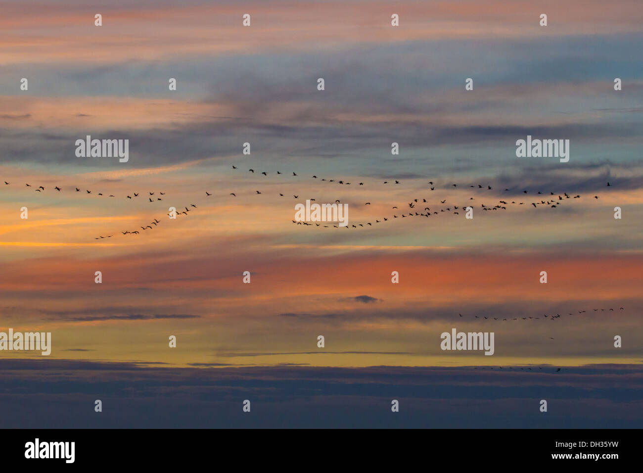 Bird migration of crane - Stock Image