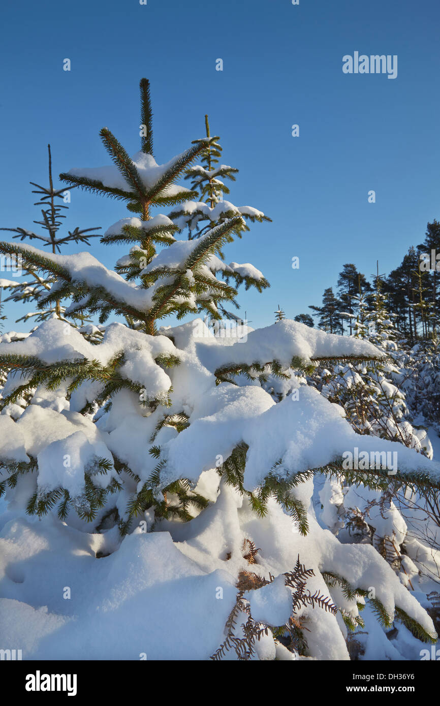 Conifer forest in deep snow, in the Haldon Hills nr Mamhead, nr Exeter, Devon, Great Britain. - Stock Image