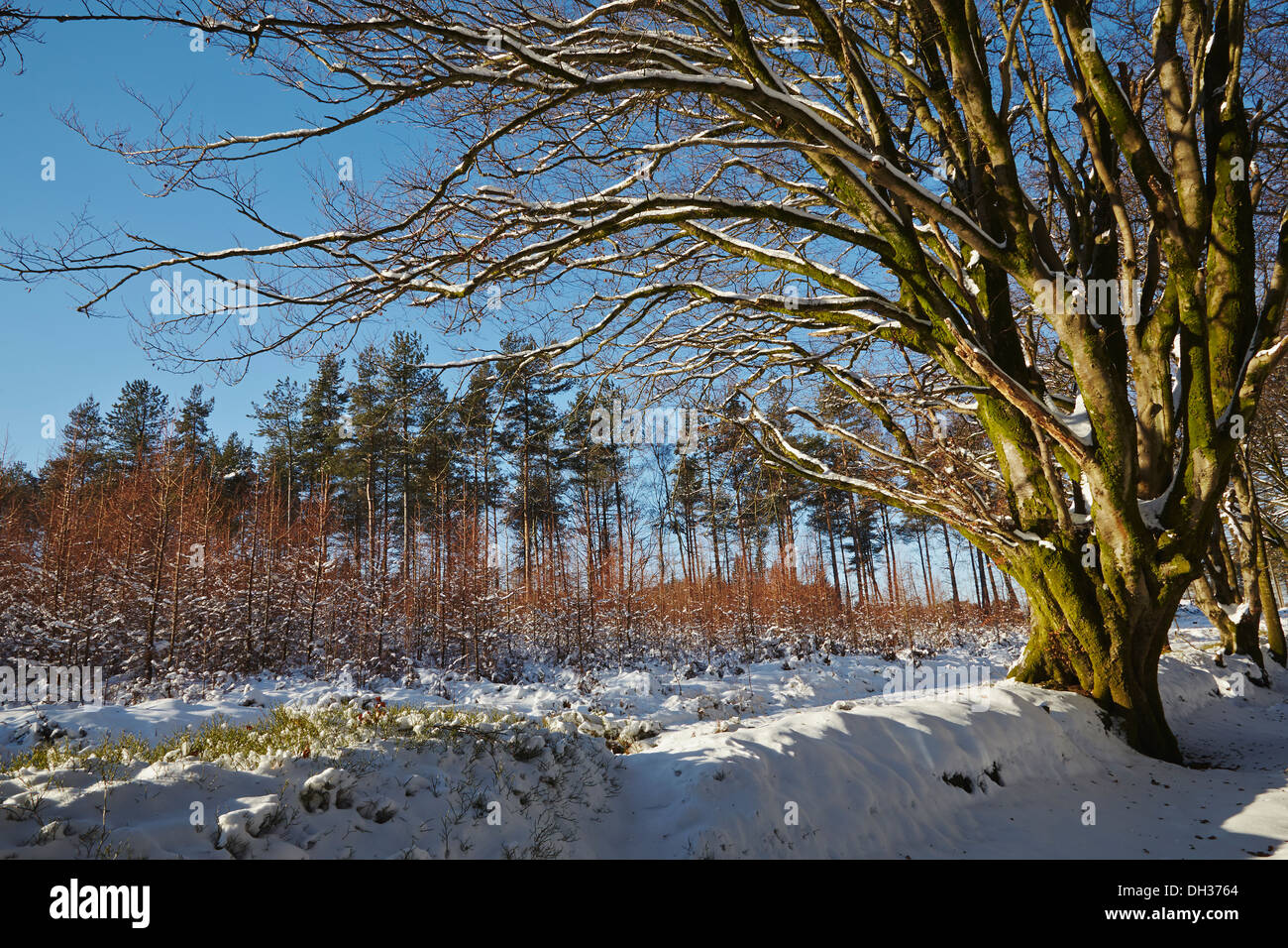 A beech tree and conifer forest in deep snow, in the Haldon Hills near Mamhead, near Exeter, Devon, Great Britain. - Stock Image