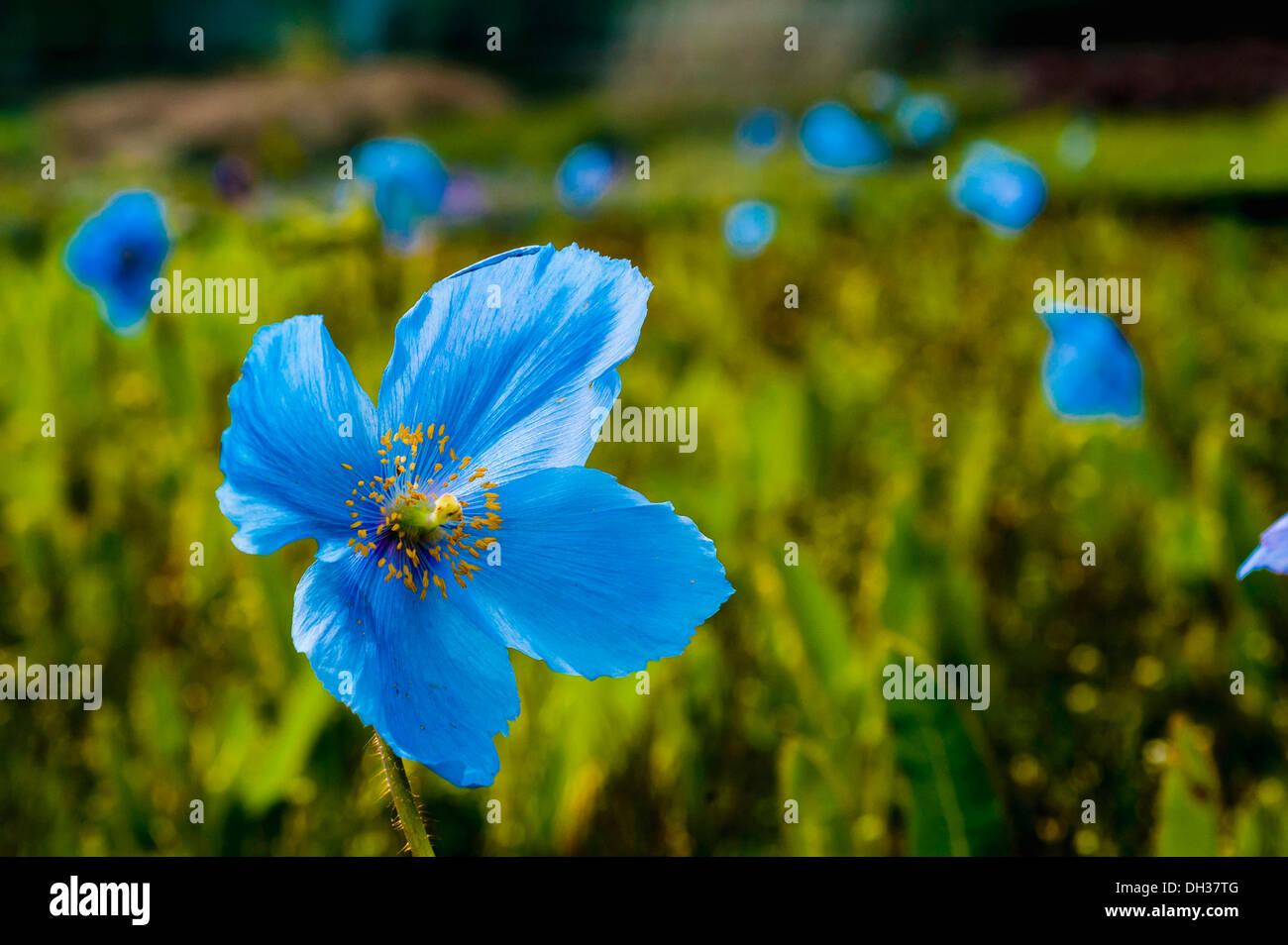 Himalayan blue poppy Meconopsis betonicifolia. Field of blue poppies ...
