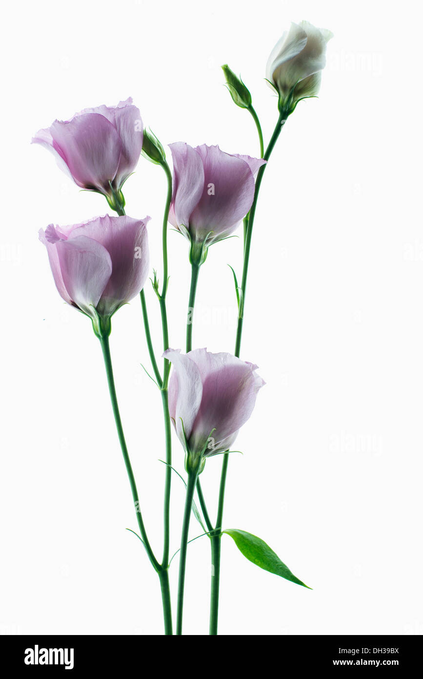 Lisianthus, Eustoma russellianum Piccolo Rose. Studio shot of multiple flower heads arranged on light box. - Stock Image