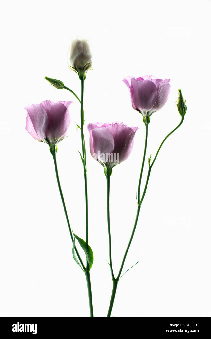Lisianthus, Eustoma russellianum Piccolo Rose. Studio shot of multiple flower heads arranged and photographed on a lightbox. - Stock Image