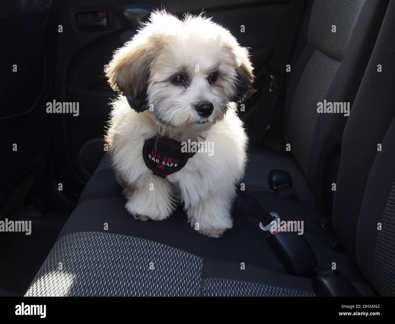 Teddy Bear Puppy A K A Zuchon Mix Of Shih Tzu And Bichon