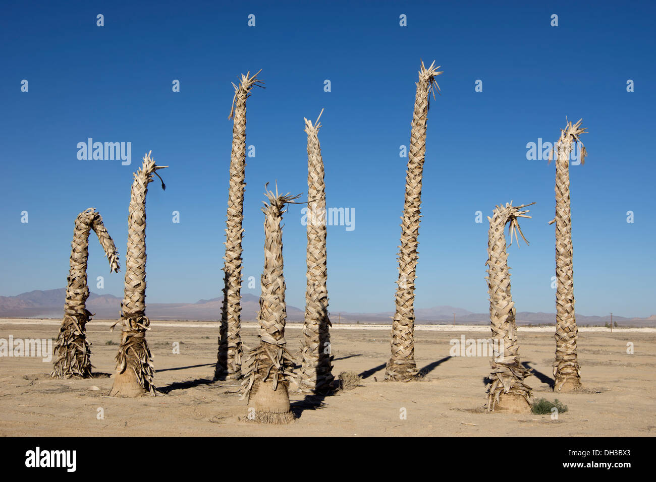 Trunks of dead palm trees in Southeast California, USA. - Stock Image