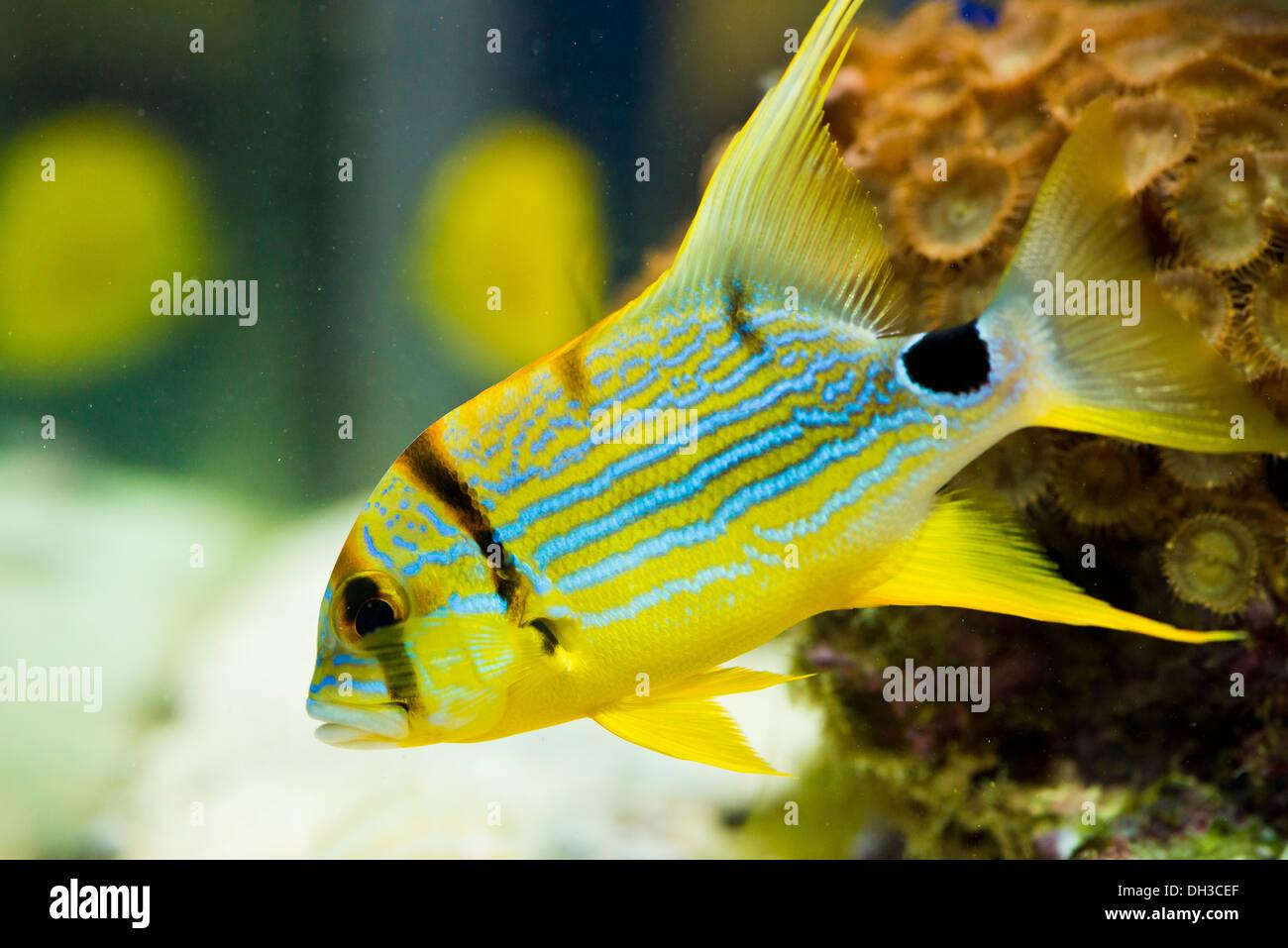 symphorichthus spilurus - yellow, sea fish. - Stock Image