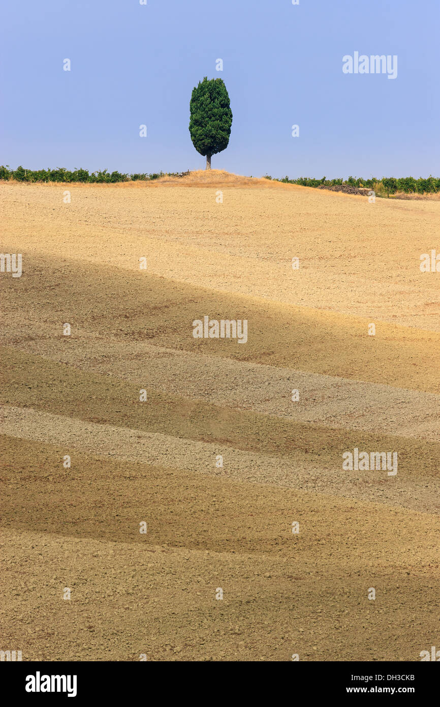 Lonesome Cypress Tree on a hill top near Montalcino, Tuscany, central Italy - Stock Image