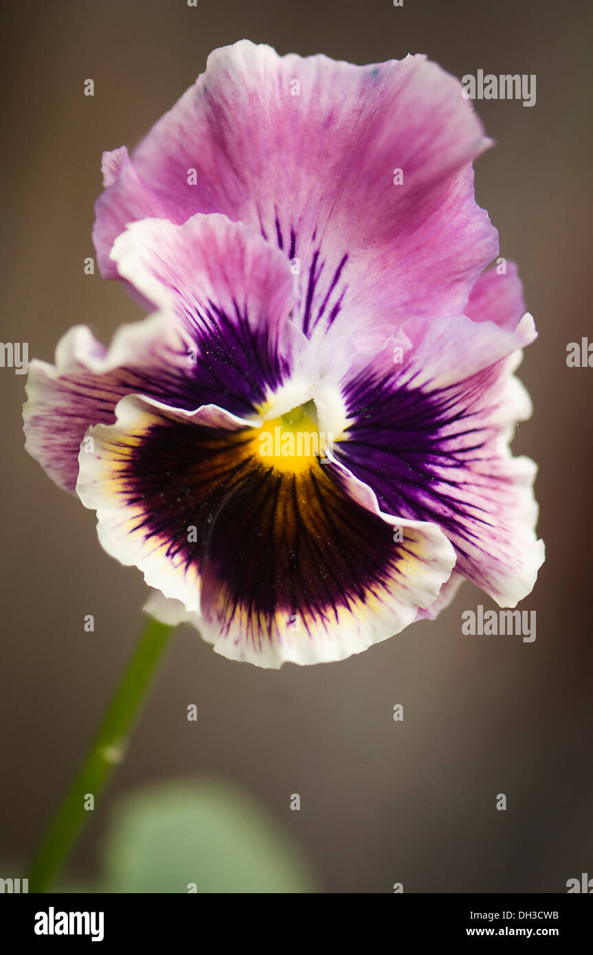 Pansy Viola x wittrockiana. Single flower with ruffled petals of muted purple and area of dark purple-brown radiating from - Stock Image