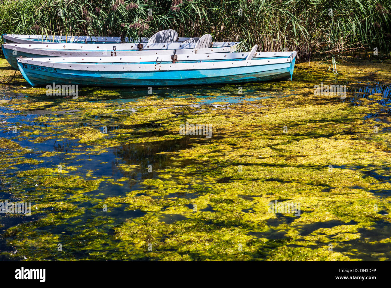 Rowing boats moored on an algae infested inlet at Llangors Lake in the Brecon Beacons National Park, Wales - Stock Image