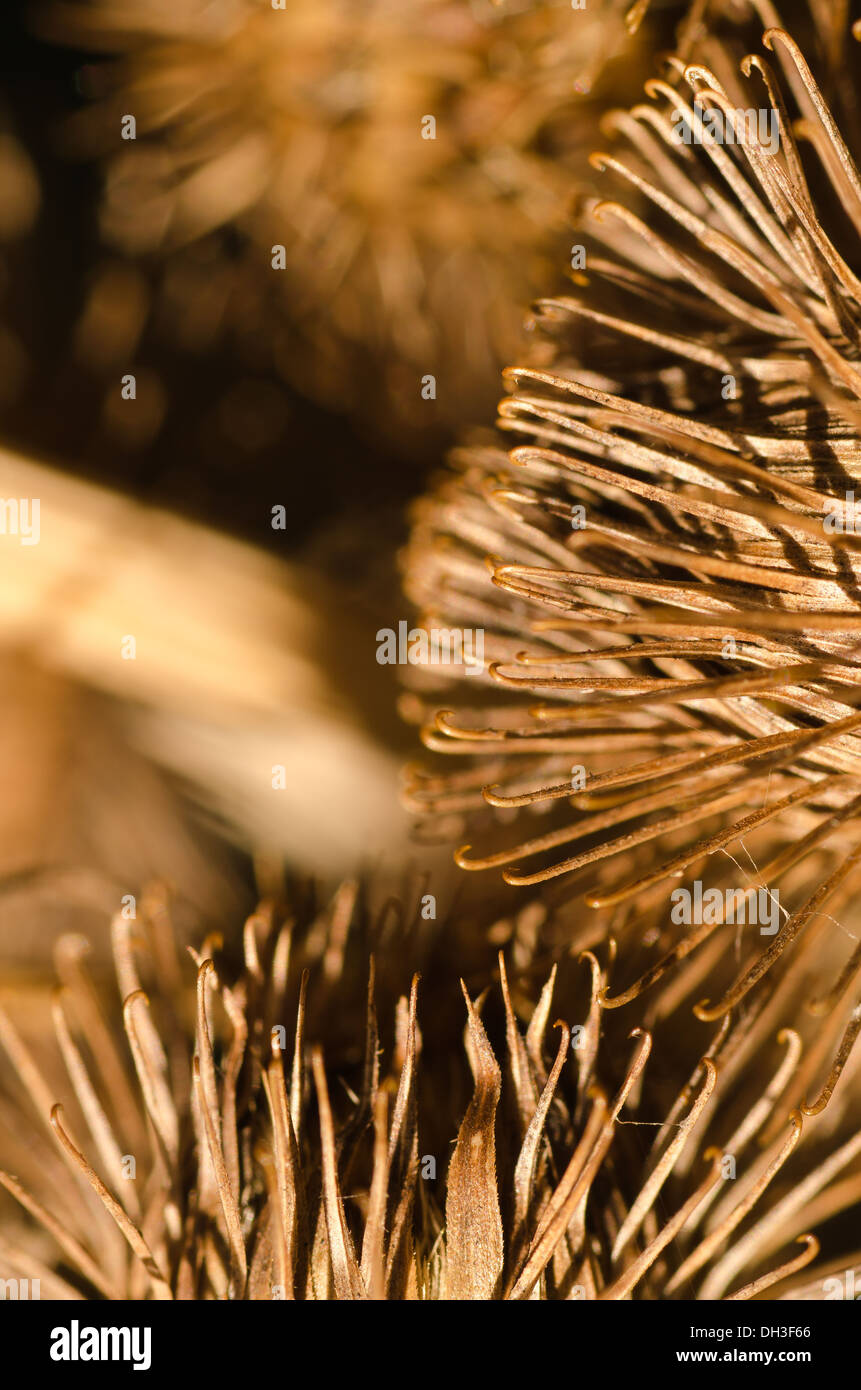 seed fruit cases of burdock plant whose hook tipped burrs inspired the invention of Velcro - Stock Image