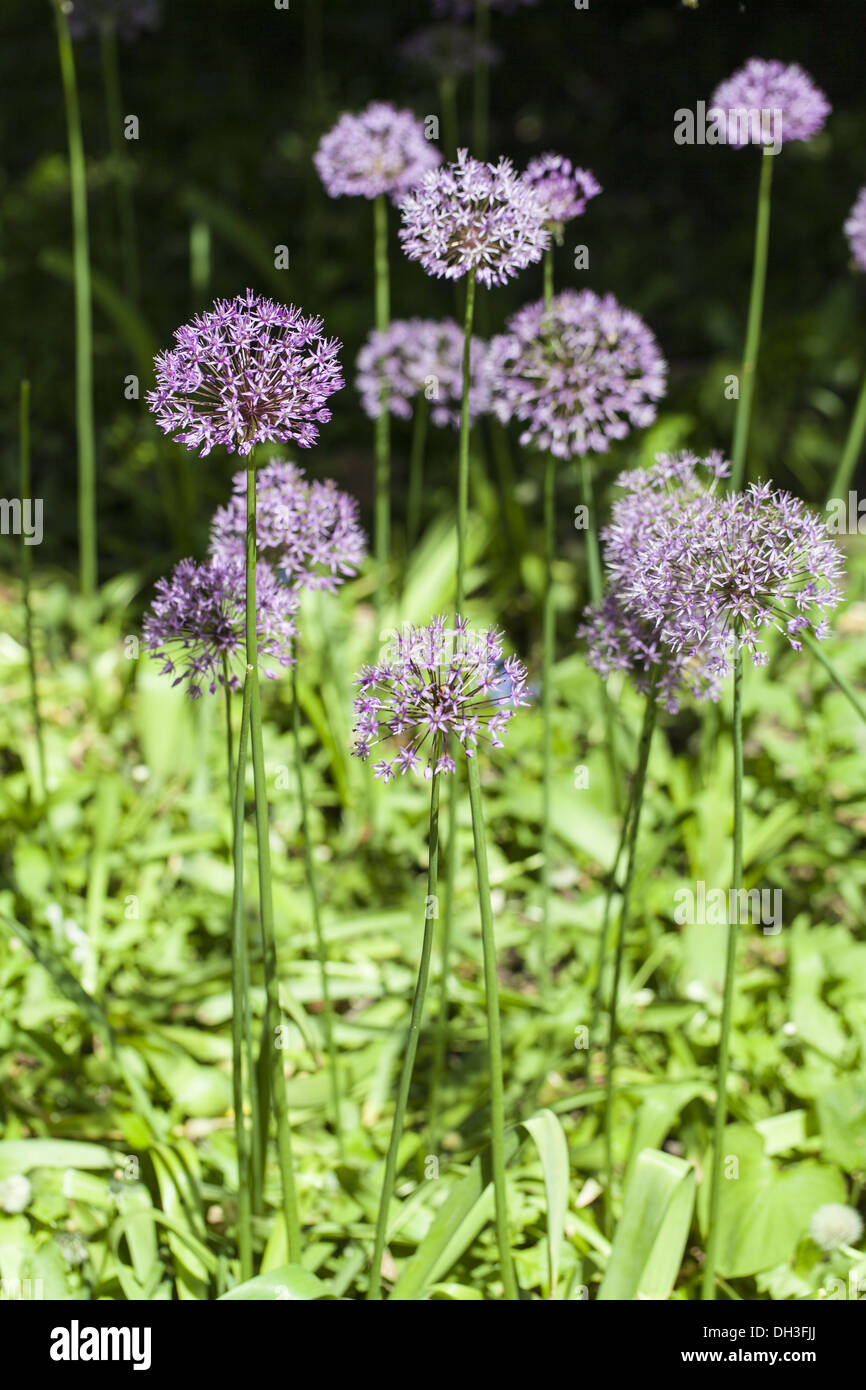 Star Ball leek (Allium cristophii) Stock Photo