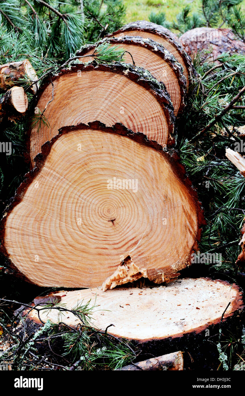 felled pine tree in the forest, vertical Stock Photo