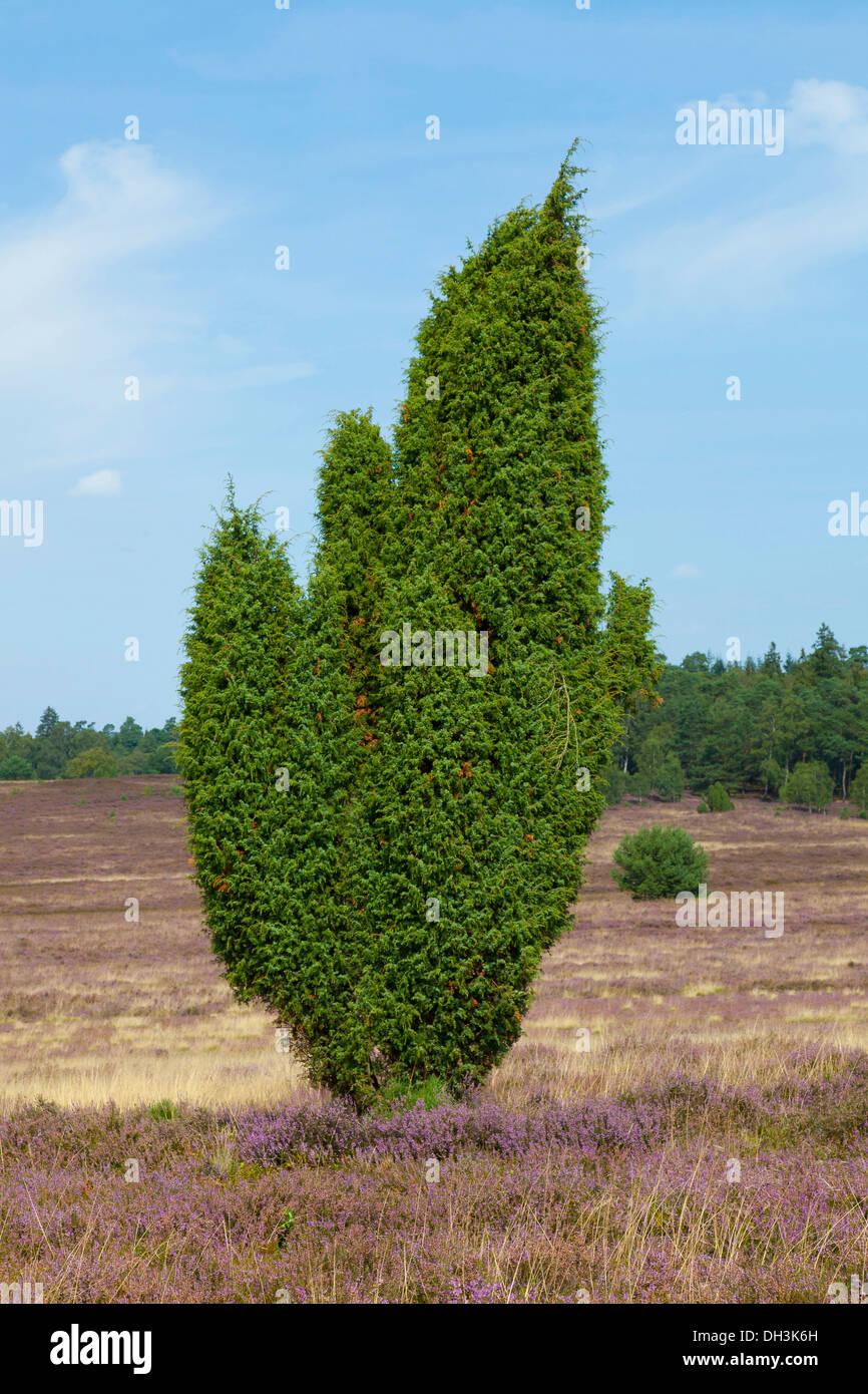 Juniper (Juniperus) and Heather (Calluna vulgaris), Wilseder Berg, Lueneburg Heath, Lower Saxony - Stock Image