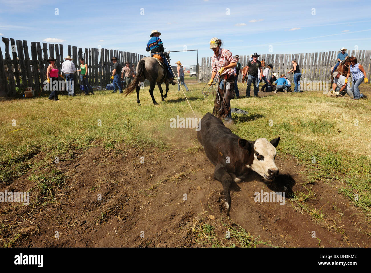 Cowboys and cowgirls bringing a cattle tied with a lasso to the ground to brand it, Cypress Hills, Saskatchewan Province, Canada - Stock Image