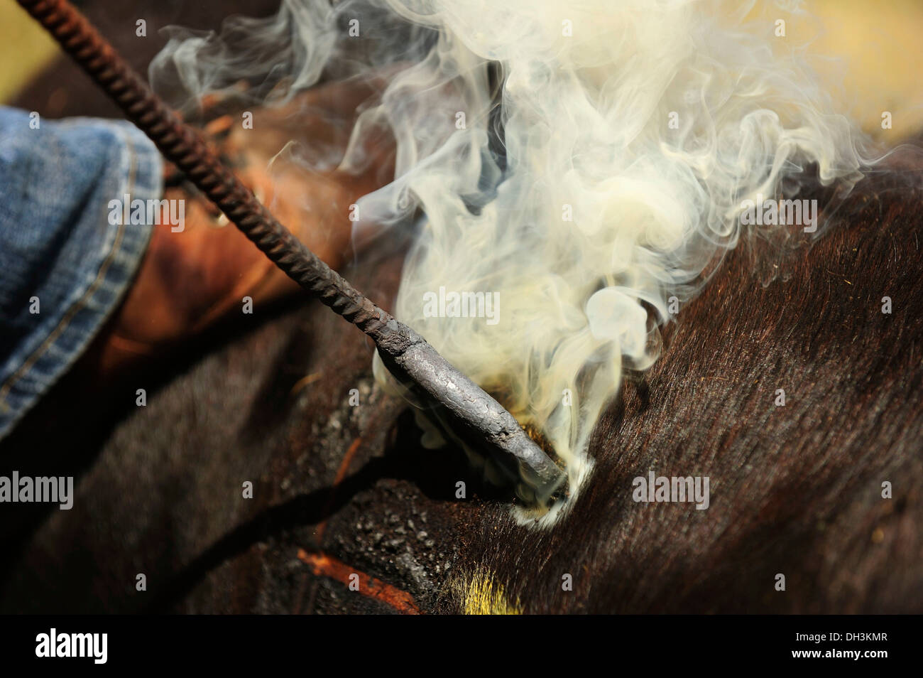 Hot branding iron burns into the skin of a calf to brand it, Cypress Hills, Saskatchewan Province, Canada - Stock Image