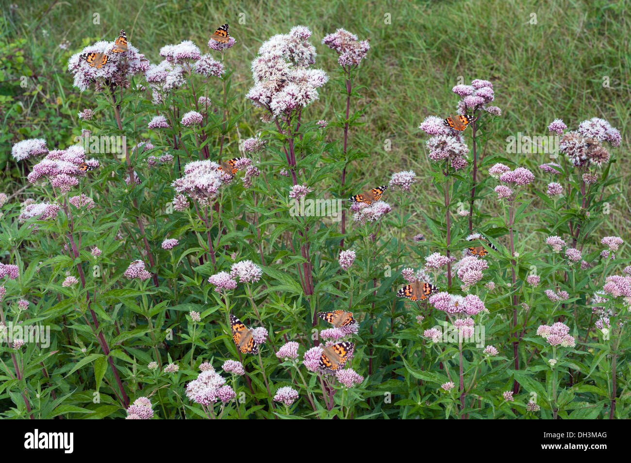 Painted lady butterflies, Vanessa cardui, group of migrants feeding on Hemp Agrimony - Stock Image