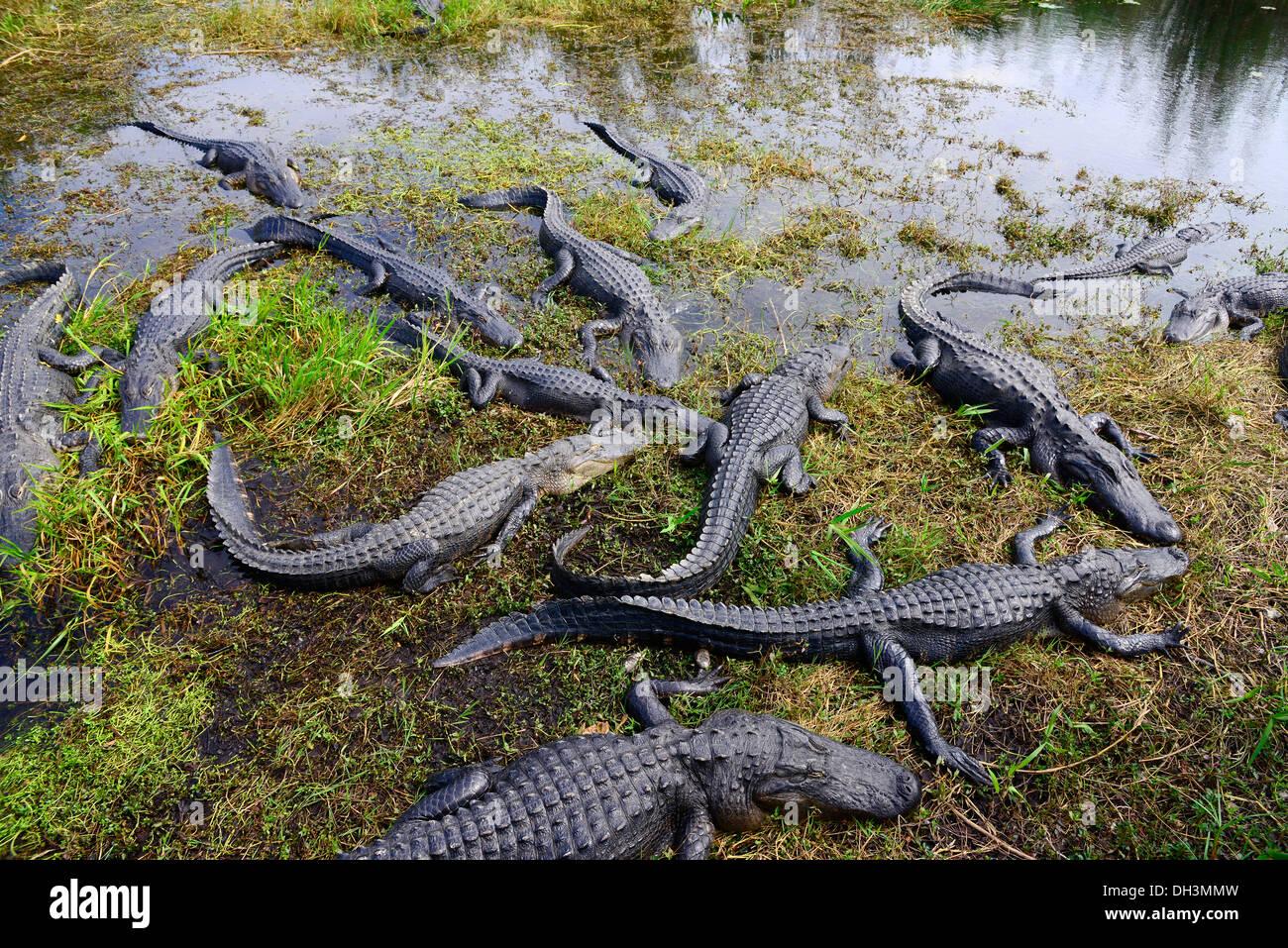 Alligators Everglades National Park Homestead Florida US - Stock Image