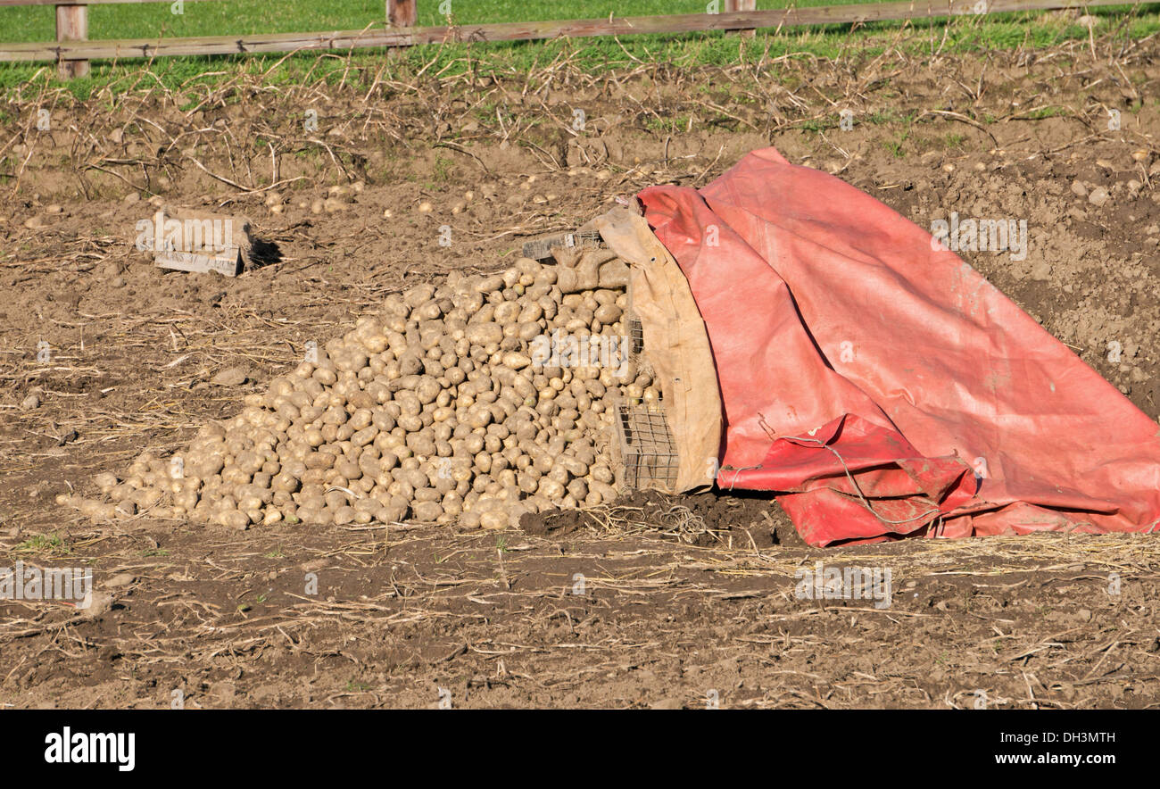 Potato clamp under construction, Beamish museum north east England UK Stock Photo