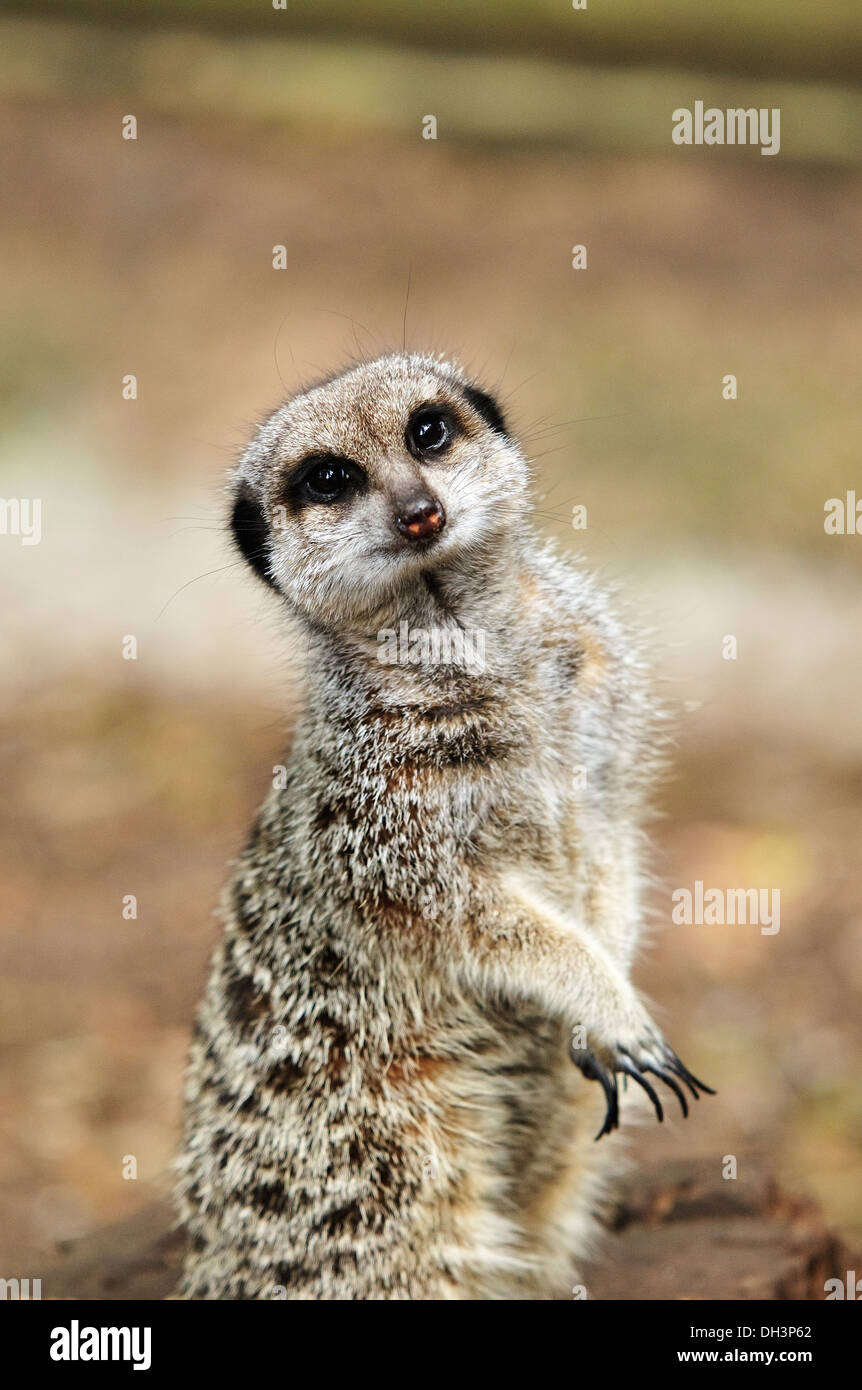 A Meerkat standing to attention looking directly into the camera - Stock Image