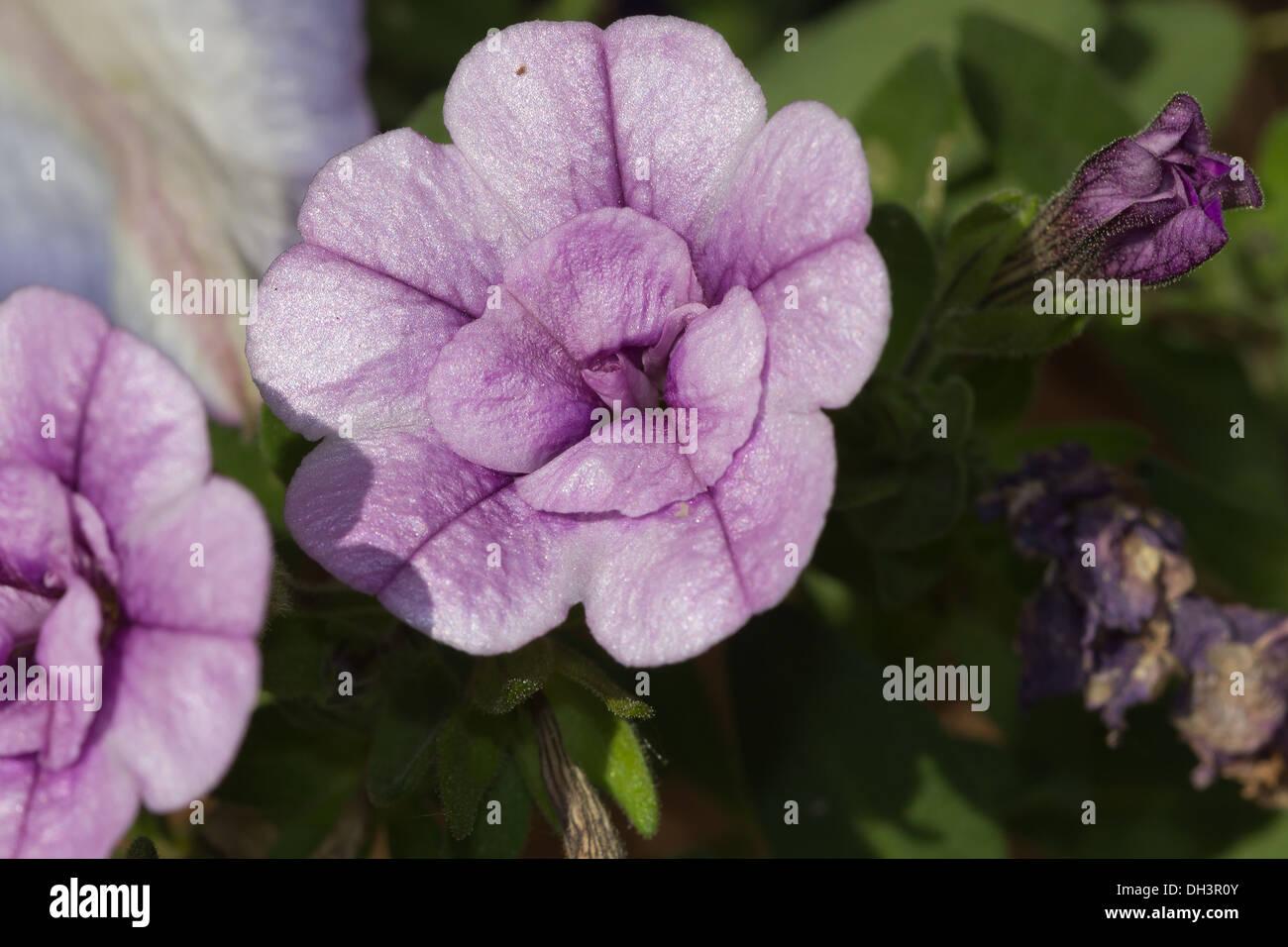 filled mini petunias - Stock Image