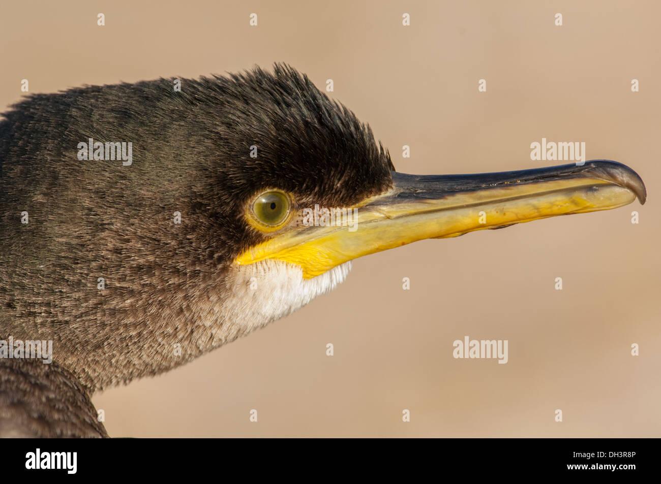 Common Shag (Phalacrocorax aristotelis), head portrait. - Stock Image