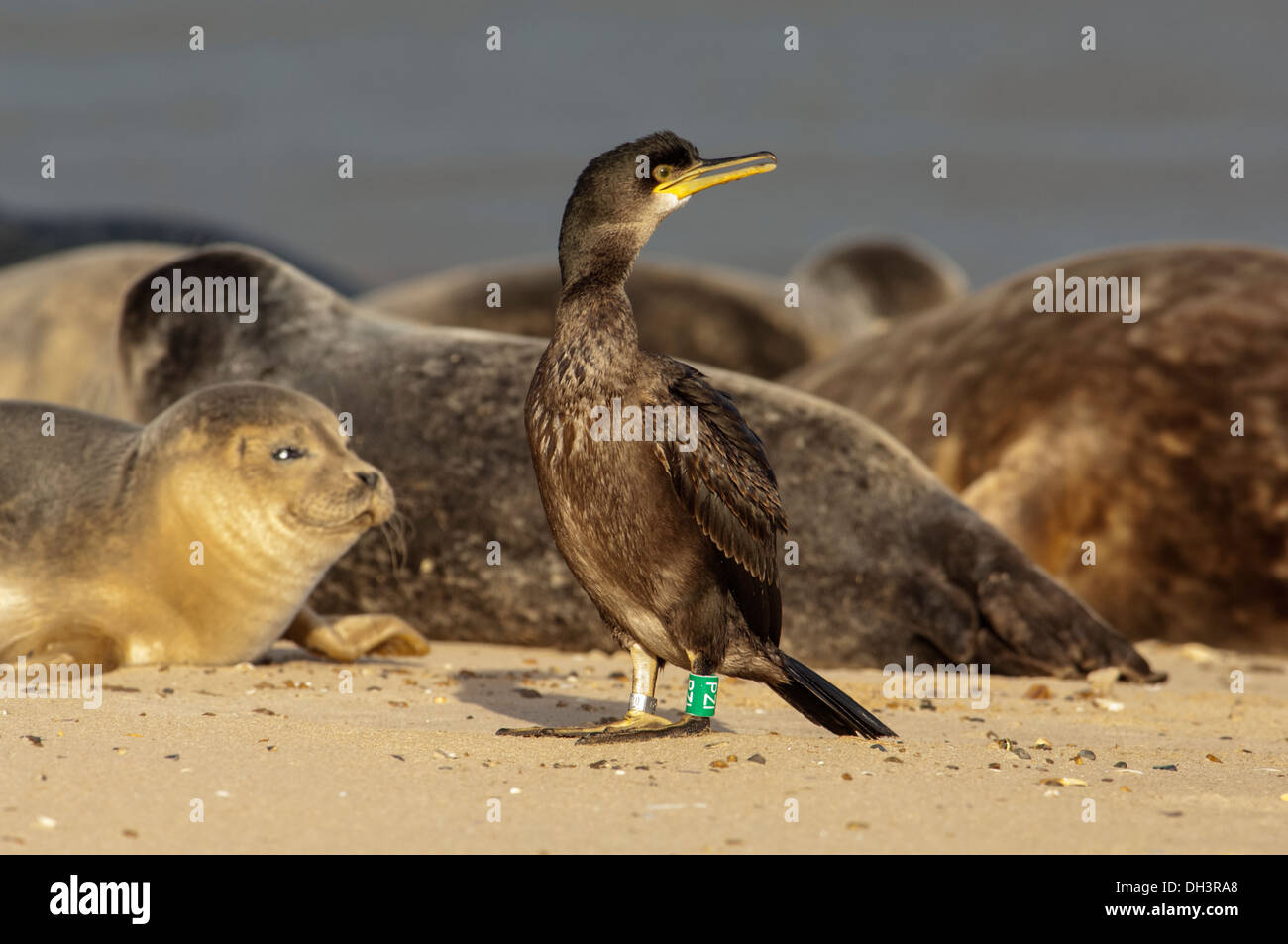 Common Shag (Phalacrocorax aristotelis) and Common seals. - Stock Image