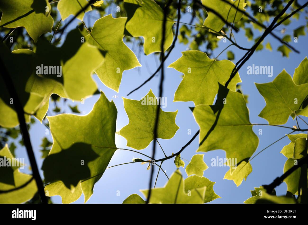 Tulip Tree Stock Photos & Tulip Tree Stock Images - Alamy