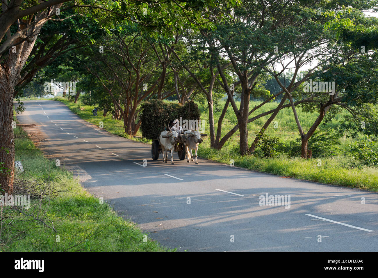 Indian farm worker with harvested peanut plants on a bullock cart in the rural indian countryside. Andhra Pradesh, India. - Stock Image