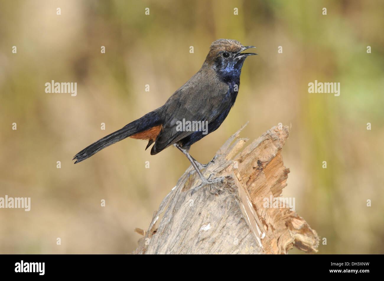 Indian Robin - Saxicoloides fulicatus - Stock Image