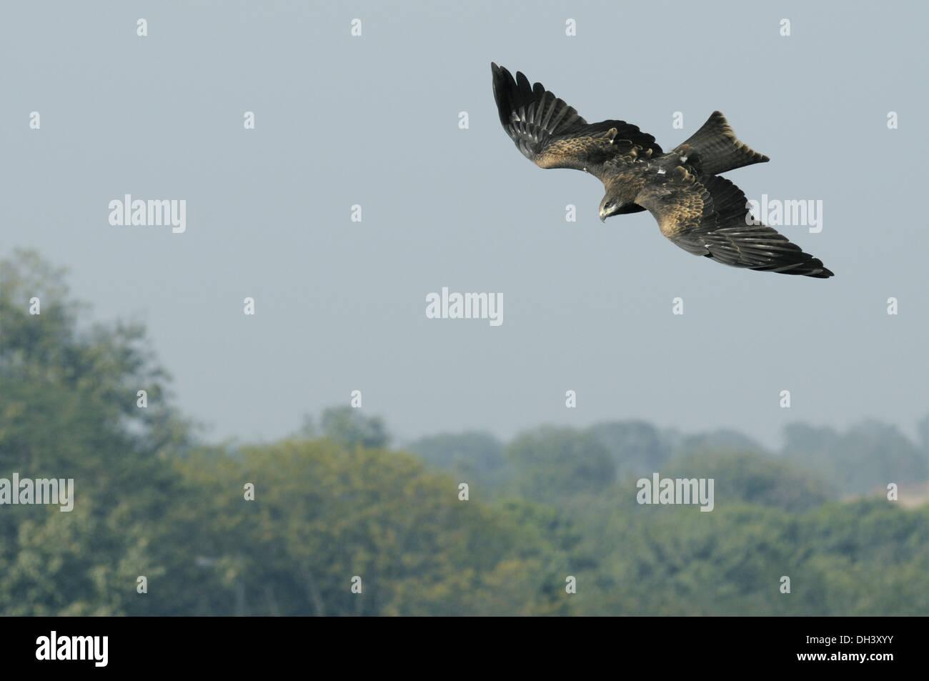 Black Kite Milvus migrans - Stock Image