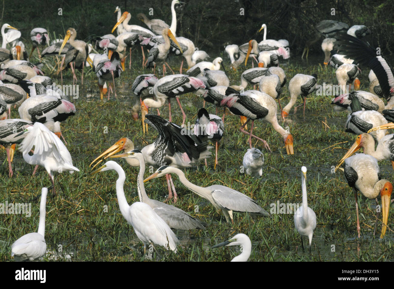 Birds at Bharatpur, India - Stock Image