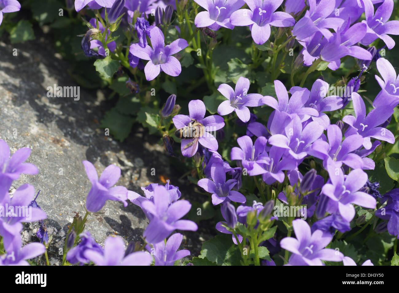 Dalmatian Bellflower - Stock Image