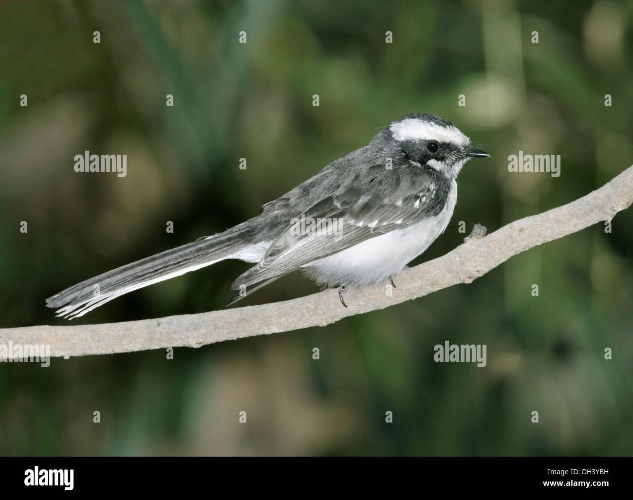 White-browed Fantail - Rhipidura aureola - Stock Image